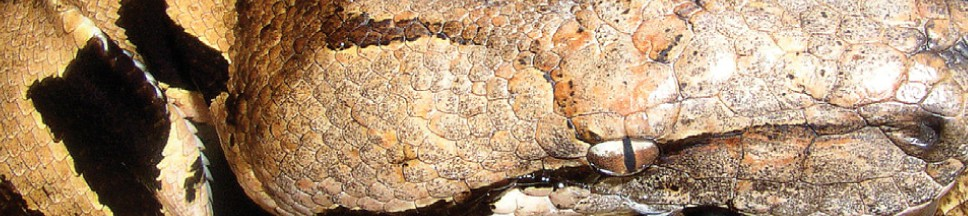 Nördliche Madagaskarboa