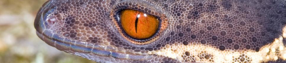 Hainan Leopard Gecko